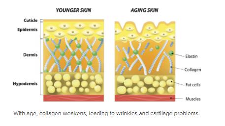 Collagen là gì? Các tác dụng của collagen với sức khỏe con người