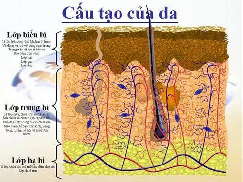 Cơ chế thay da bằng vi kim tảo biển