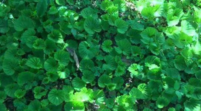 lá namaan - là cây naman