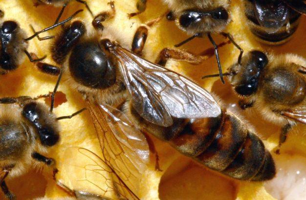 Hình ảnh chú ong chúa