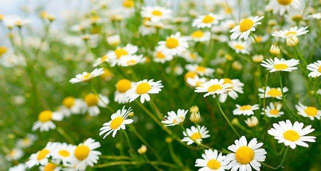 Tác dụng của hoa cúc trong việc chăm sóc da