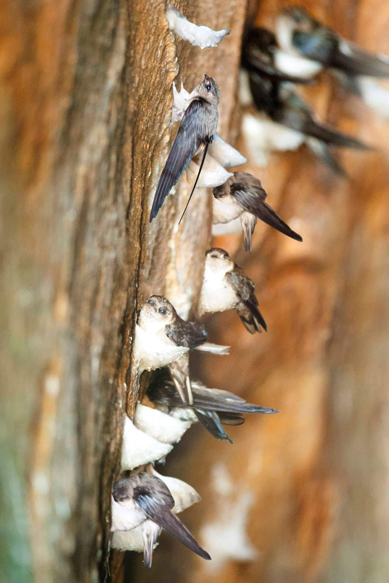 Chim yến Hàng (Aerodramus Fuciphagus Germani) làm tổ trên vách đá hoa cương đảo yến thiên nhiên có giá trị dinh dưỡng cao.